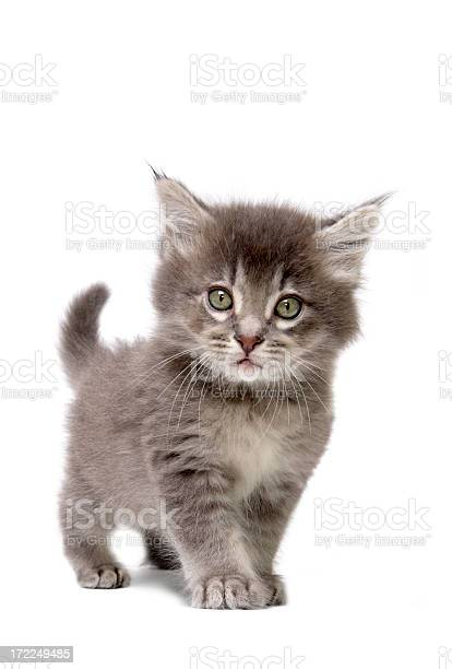 Close up of grey kitten on a white background picture id172249485?b=1&k=6&m=172249485&s=612x612&h=4wd wix6f zm91jhxsv4bn0dwlzkdlel9hduauhwrss=