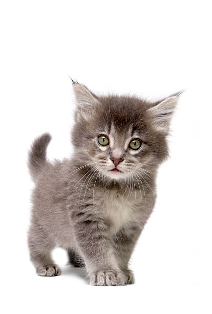 Close up of grey kitten on a white background picture id172249485?b=1&k=6&m=172249485&s=612x612&w=0&h=rlkna uxjemnlfwff 80fxmjopu8 2n7jusb81qdjfi=