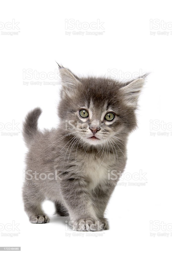 Close up of grey kitten on a white background stock photo