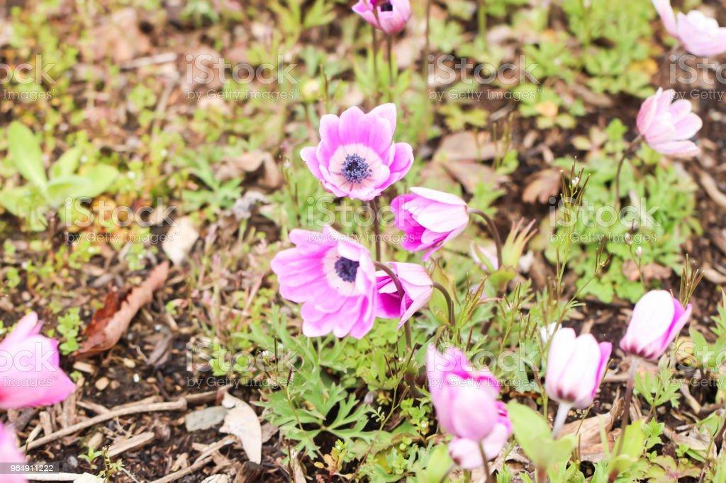 Close up of group little violet and pink tulip , Yamanashi, Kawaguchiko royalty-free stock photo