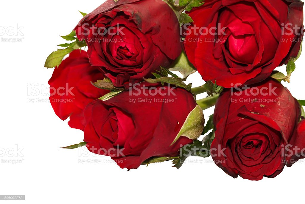 Close up of Group Valentine rose on white Background royalty-free stock photo