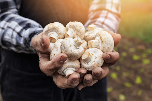 Close up of hands cupped holding white mushrooms. Radish growths garden as background.