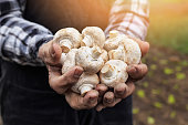 istock Close up of hands cupped holding white mushrooms-sunlight 518732952