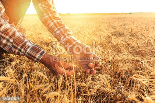 Close up of old man's hands holding wheat growth. Wears checkered shirt and union suit. Gold colored field and sunbeam on background.