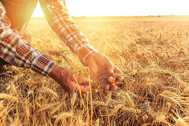 Close up of hands examining wheat growth stock photo