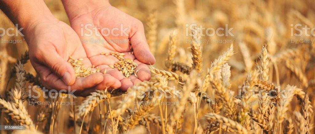 Nahaufnahme von Händen mit Weizenkorn – Foto