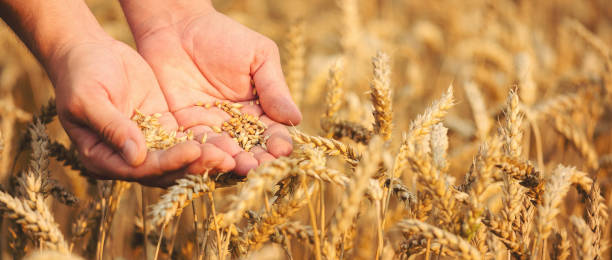 Close up of hands holding wheat grain stock photo