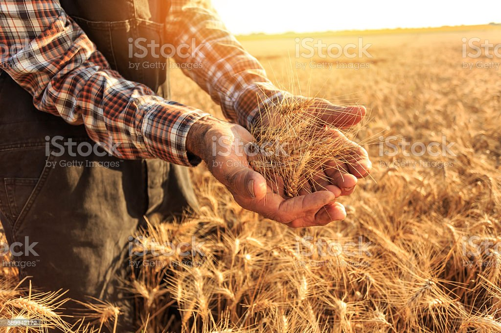 Close up of hands holding wheat growth stock photo