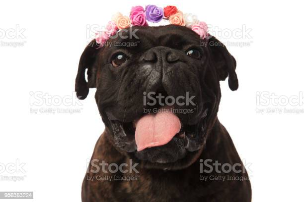 Close up of happy boxer wearing flowers headband and panting picture id956363224?b=1&k=6&m=956363224&s=612x612&h=5eqj1oagsntxuerfe cahyvmwfhmxjbl6 1fmgx4bny=