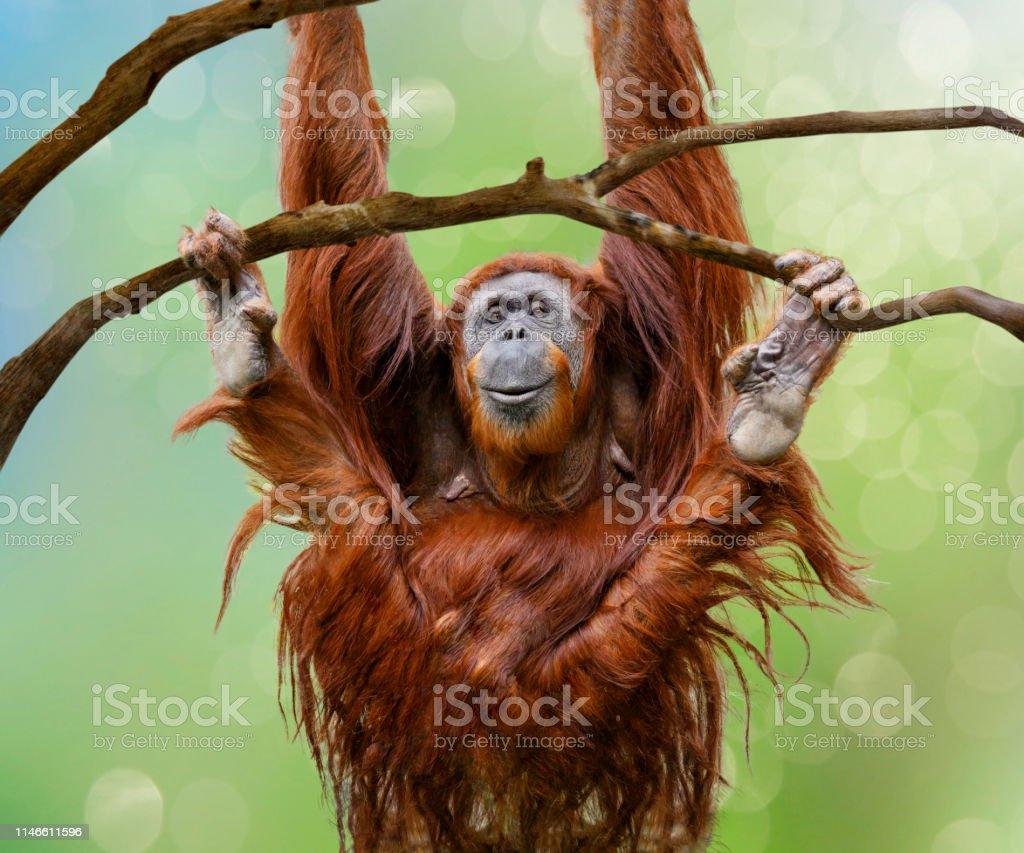 Close up of happy female Orangutan swinging from tree branch Close up of happy female Orangutan swinging from tree branch Animal Stock Photo