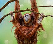 Close up of happy female Orangutan swinging from tree branch