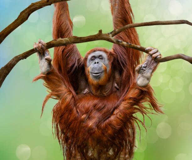 親密的快樂的女性猩猩搖擺從樹枝 - 猴子 個照片及圖片檔