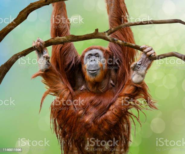 Close Up Of Happy Female Orangutan Swinging From Tree Branch Stock Photo - Download Image Now