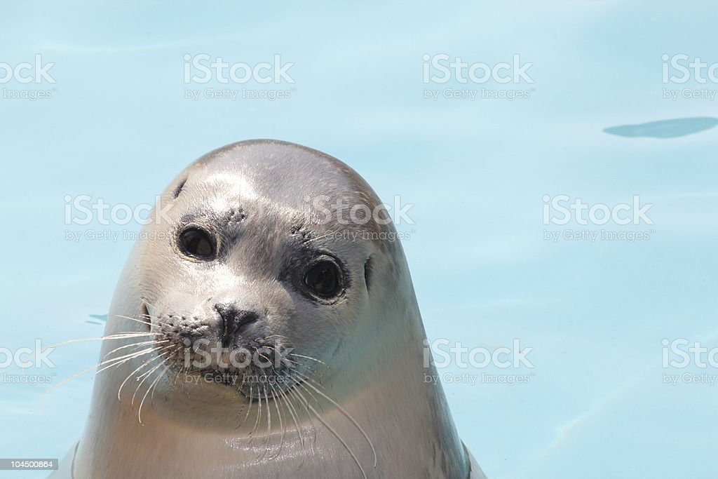 Close up of Harbour Seal pup in water. stock photo
