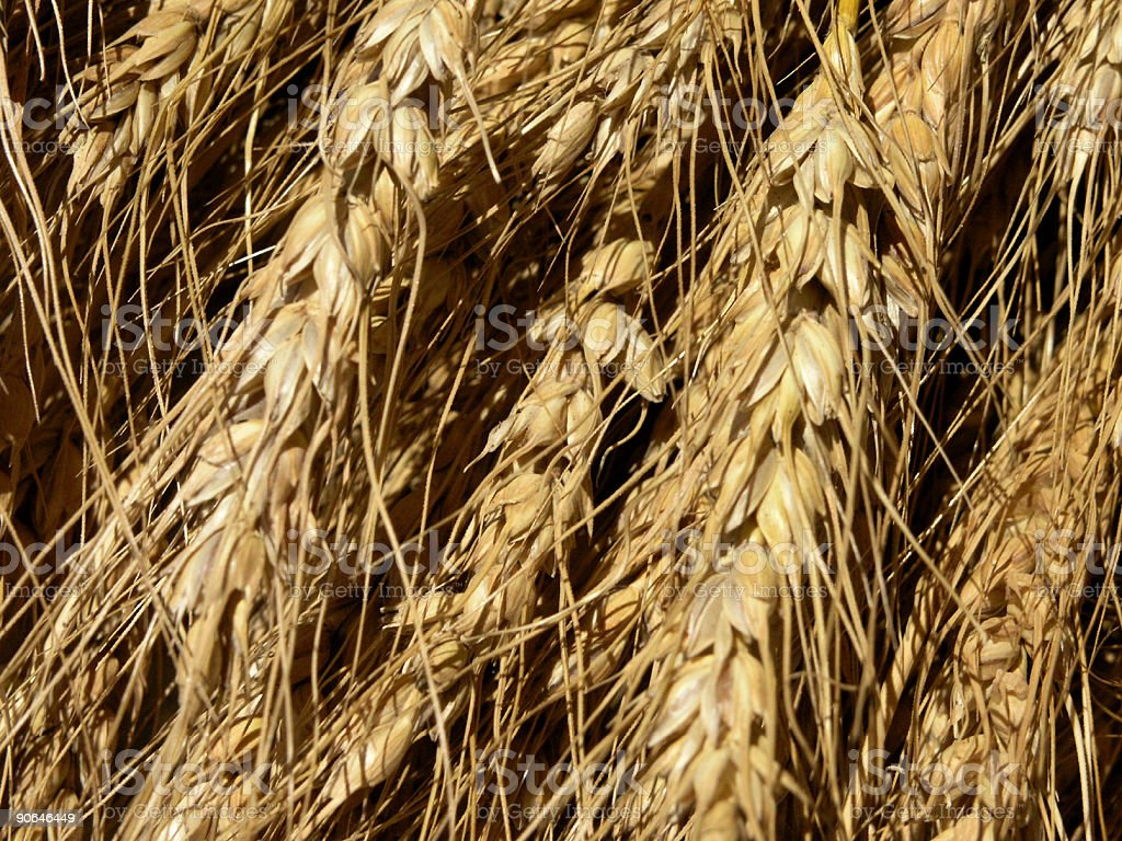 Close Up of Heads of Wheat Waiting to be Threshed stock photo