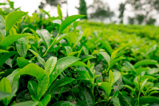 close up of healthy green tea leaves in tea farm plantation in tropical region in south india, tea is very important for local economy stock photo