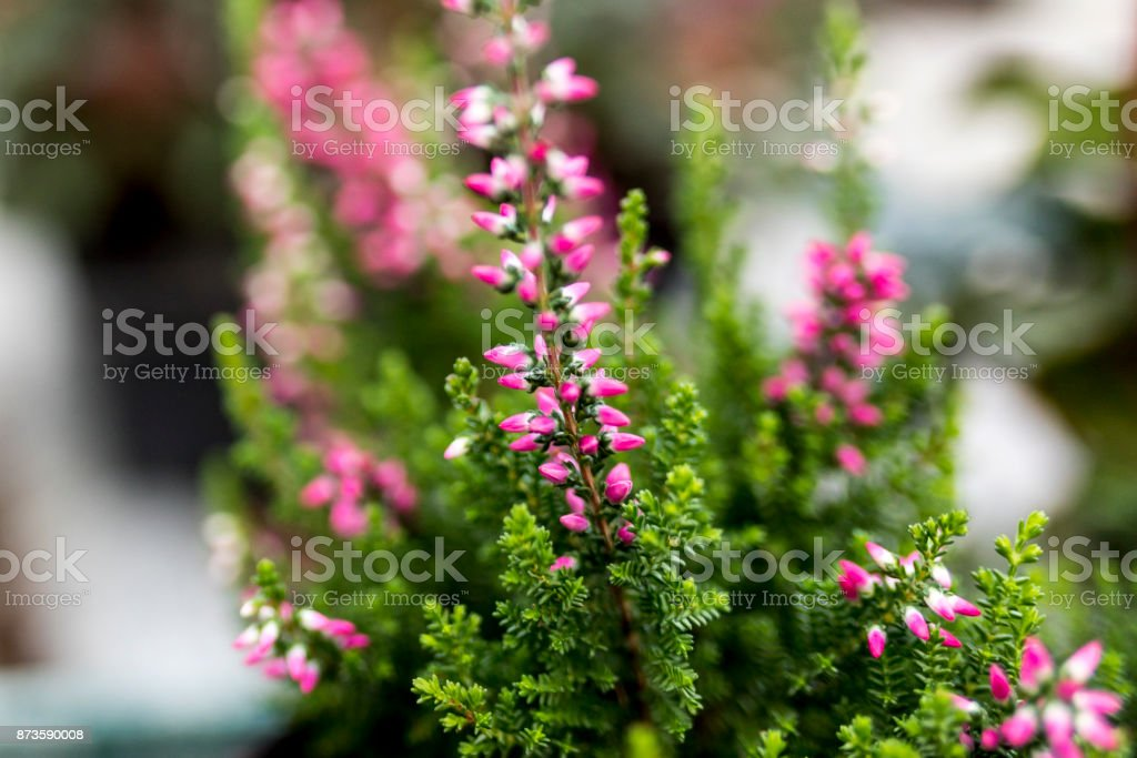 Close up of heathers in pink taken in a green house or potting shed in England, UK stock photo