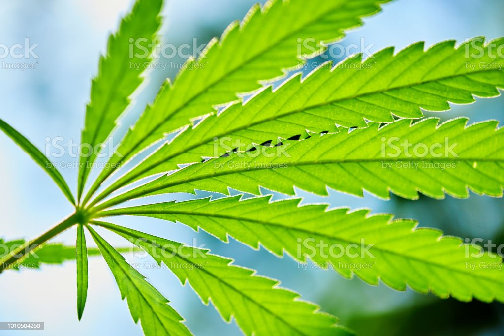 Nahaufnahme von Hanf (Cannabis) wachsende Pflanze mit blauem Himmel – Foto