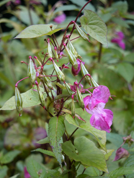 close up of Himalayan balsam flowers and seedpods growing in wetland near a river with raindrops stock photo