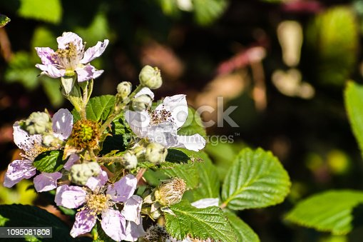 istock Close up of Himalayan blackberry (Rubus armeniacus) flowers 1095081808