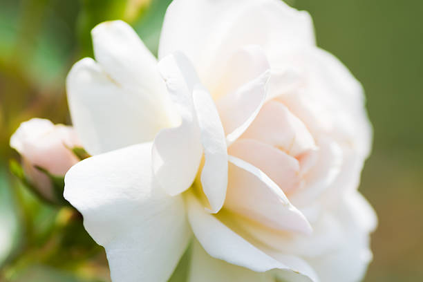 Close up of historical white Rose, Prosperity Close up of historical white Rose, Prosperity  1910 1919 stock pictures, royalty-free photos & images