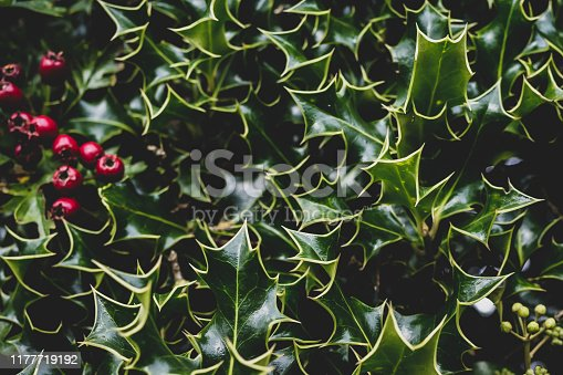 Close up of Holly Bush with red berries on a country hedgerow.  Belfast, Northern Ireland.