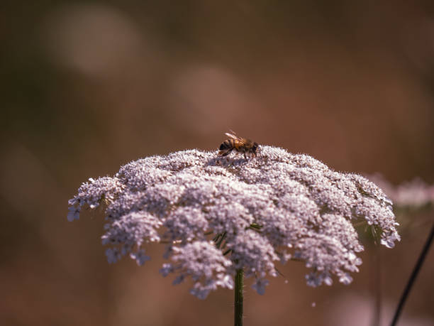 Close up of honey bee on lovage flower with copy space stock photo