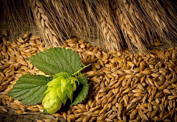 Close up of hop cones and barley stock photo