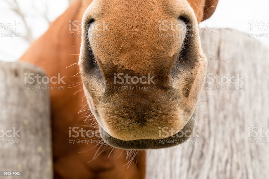Close up of horse's snout stock photo