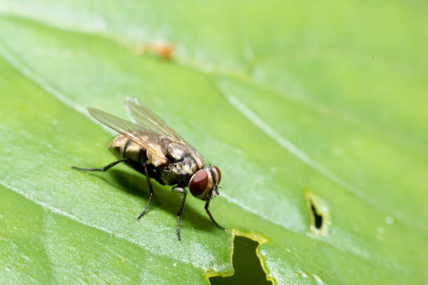 Close up of Housefly on a leaf – zdjęcie