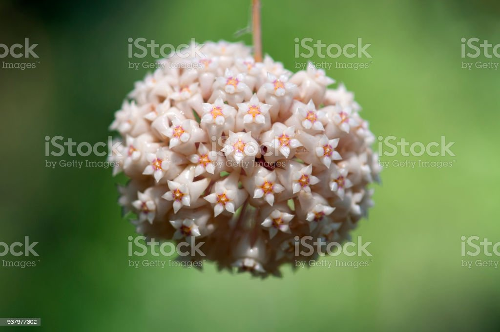 Close up of hoya, little flower shaped like ball on green background. stock photo