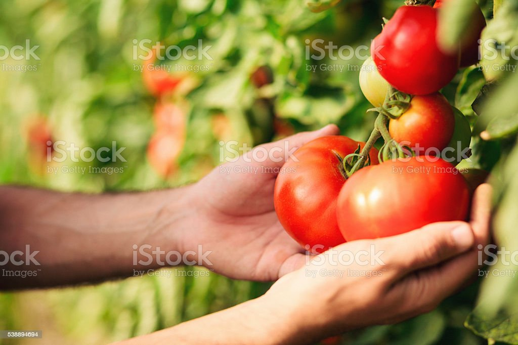 Close up of human hands holding tomato stock photo