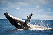 istock Close up of humpback whale breaching and surface activity 1299551576