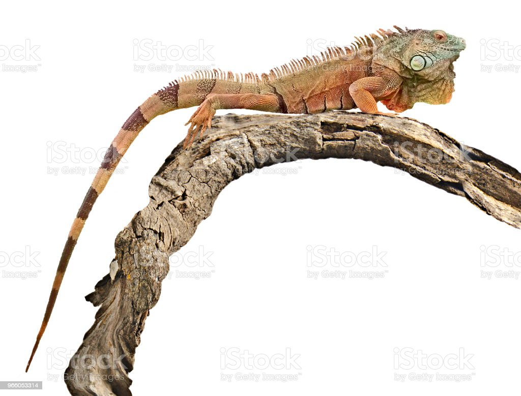 Close up of iguana - Royalty-free Animal Stock Photo