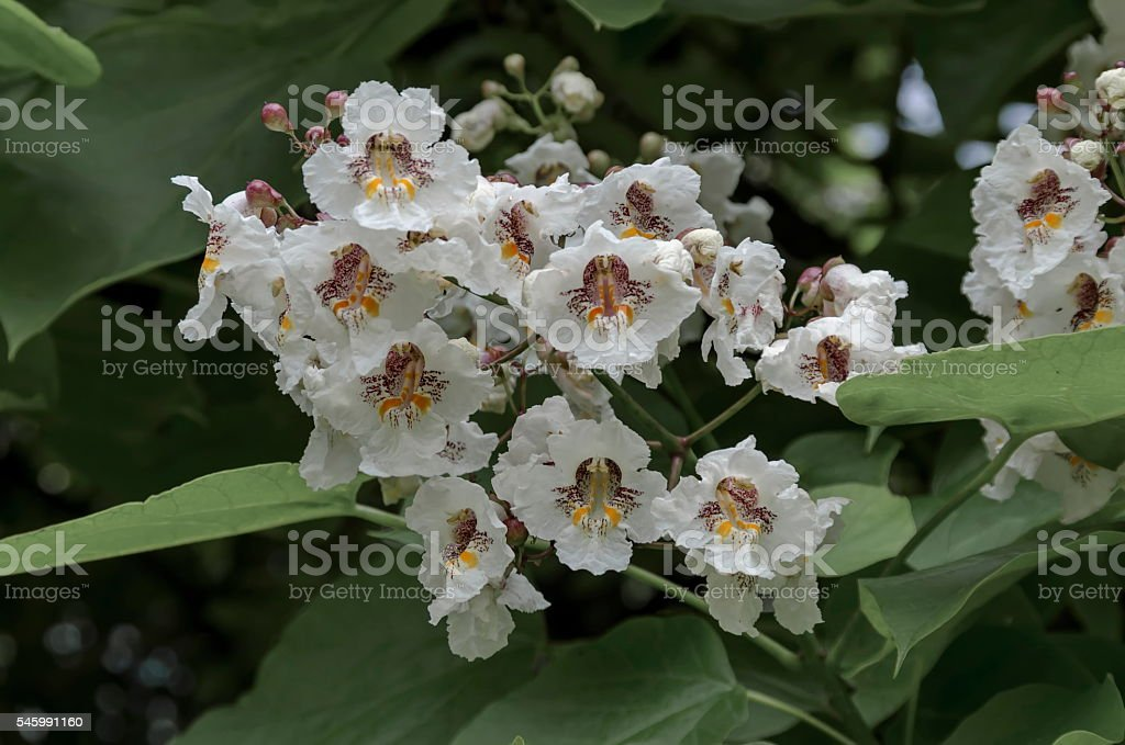Close up of Indian Bean Tree flowers  or Catalpa bignonioides stock photo