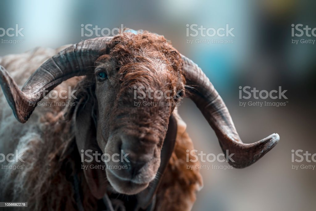 Close up of Indian sheep or Ram breed sheep or Awassi breed sheep in the fields. stock photo