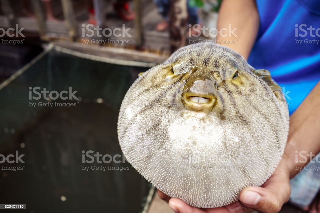 close up of inflated puffer fish (blow fish) stock photo