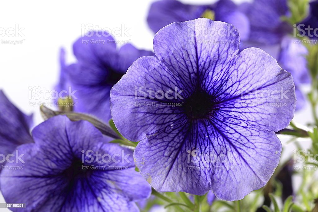 Close-up de flores Ipoméia Purpurea - foto de acervo