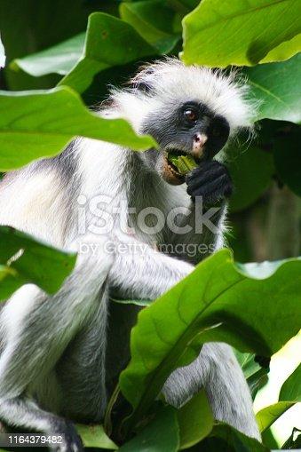 Isolated endangered red colobus monkey (Piliocolobus, Procolobus kirkii) eating a leaf in the trees of Jozani Forest, Zanzibar