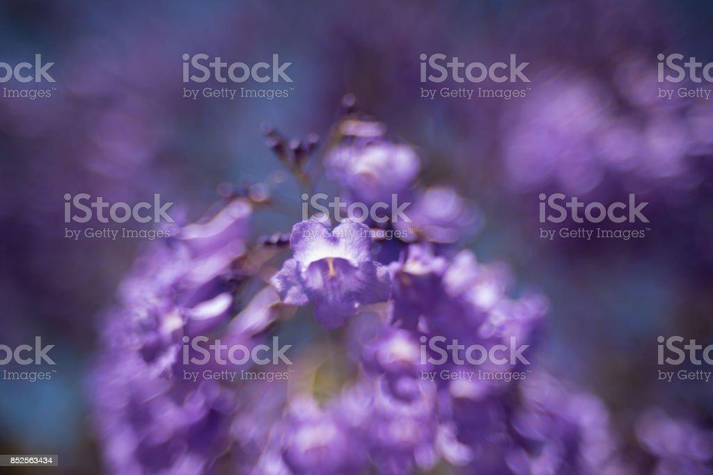 Close Up Of Jacaranda Tree Flowers Soft Focus Dreamy Background