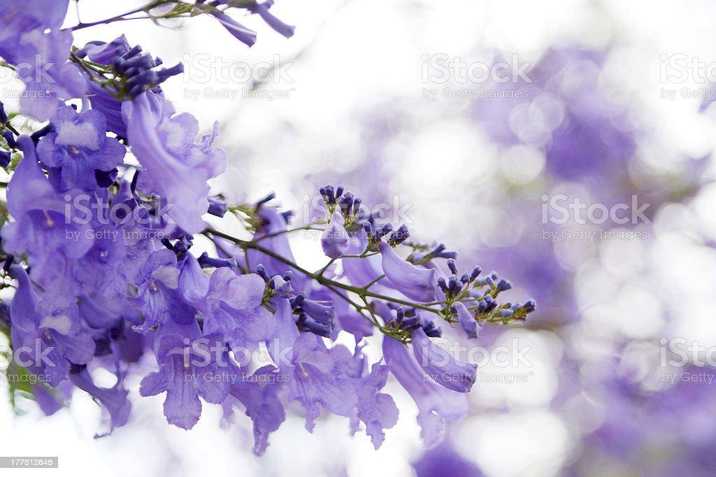 Close up of Jacaranda with blurred background stock photo