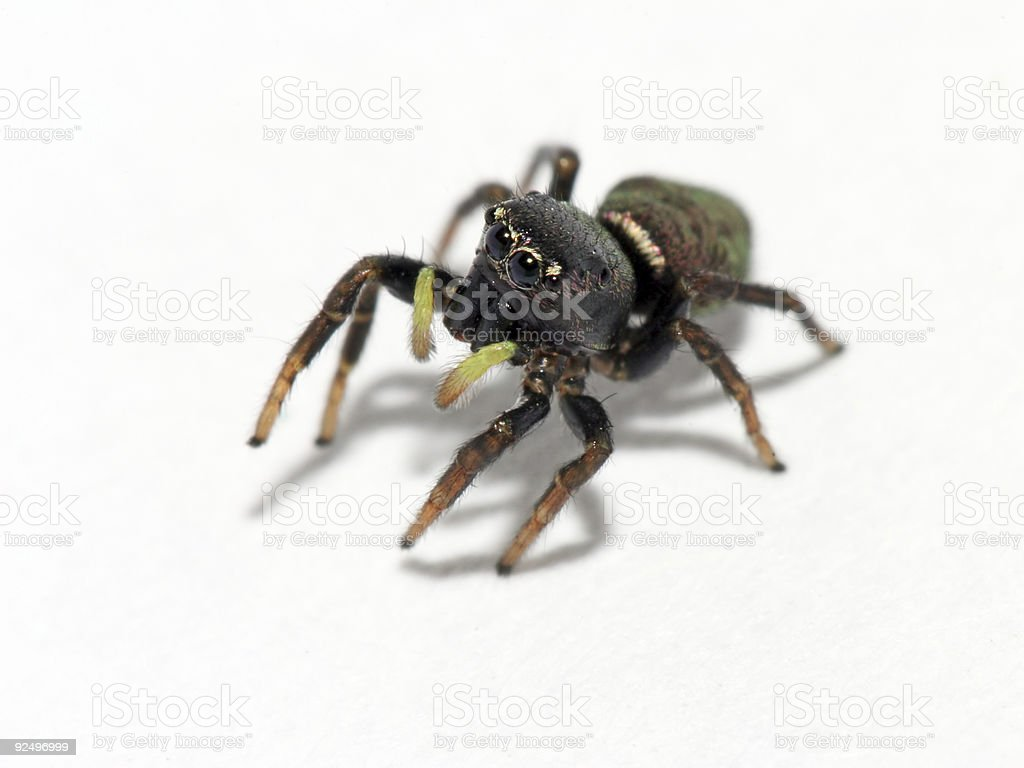 Close up of jumping spider with bright yellow antenna royalty-free stock photo