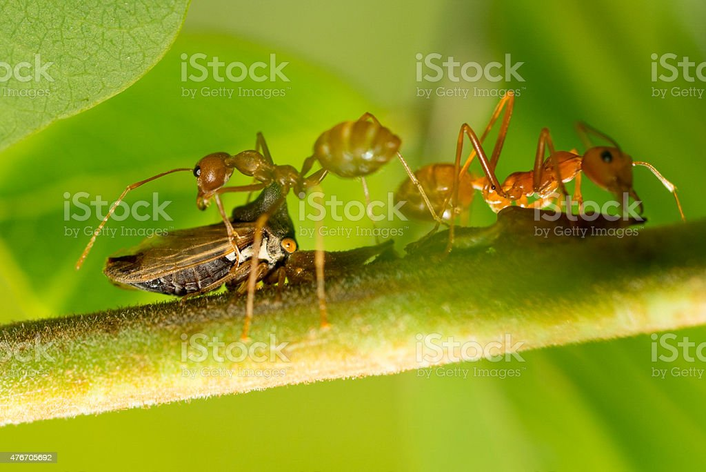Close up of kind of tiny insect and red ants stock photo