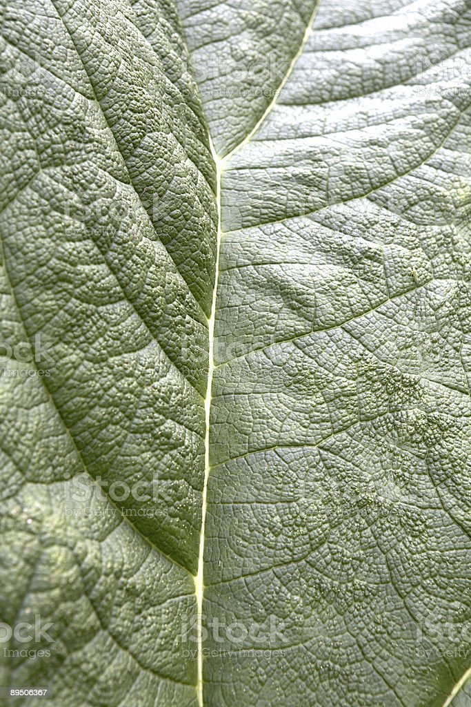 Close up of Large Deep Green leaf royalty-free stock photo