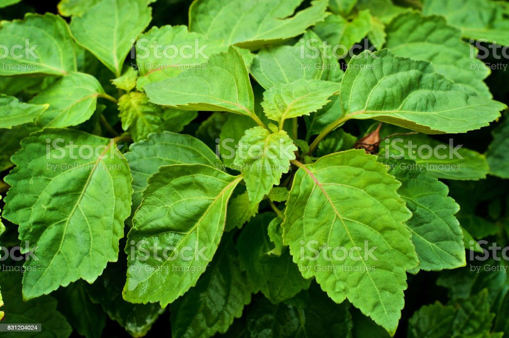close up of large leaves on patchouli plant stock photo
