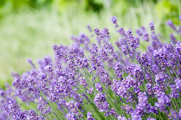 Close up of lavender flowers in field stock photo