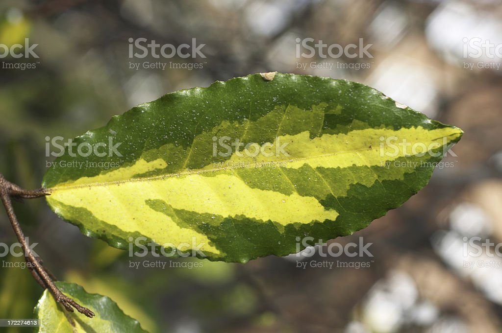 Variegated leaf on privet bush stock photo