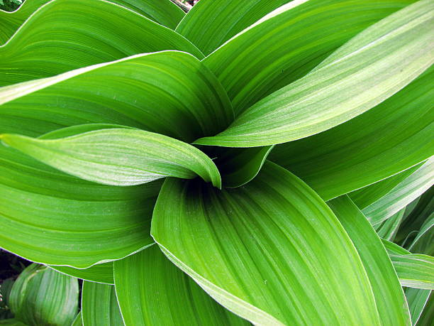 Close up of leafy plant Green Corn Lily plant arial view corn lilly stock pictures, royalty-free photos & images