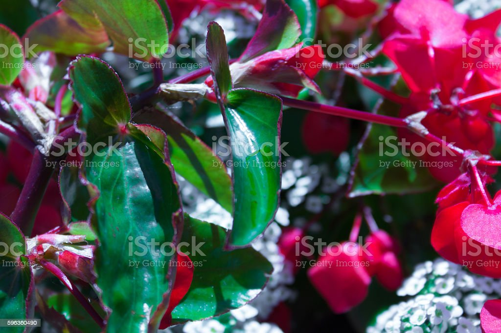 Close up of leaves, red flowers and white flowers royalty-free stock photo