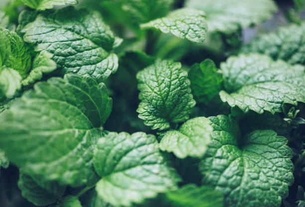 Close up von Zitronenbalsam Kraut – Foto